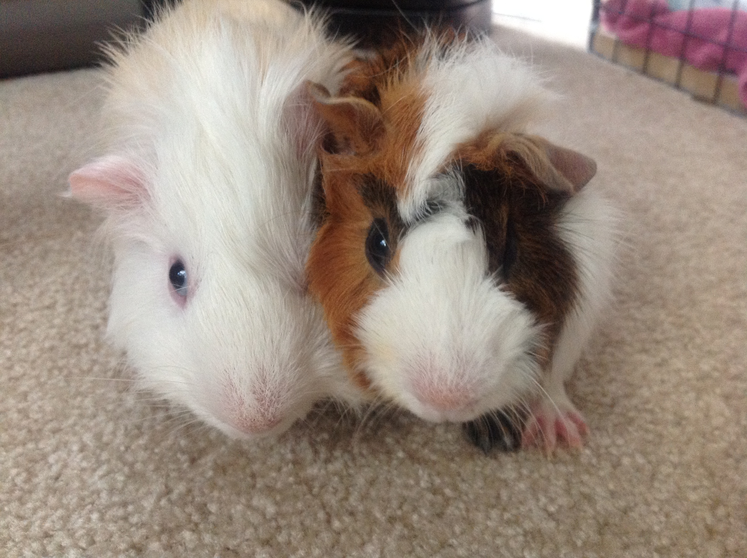 THEY CALL ME GUINEA PIG WHISPERER MOMWHEARINGLOSS