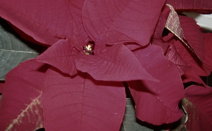 THE CHRISTMAS FLOWER – FRIDAY'S PHLOG FOR DECEMBER 14TH,2012