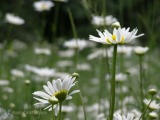 DAISIES OF SPRING – FRIDAY'S PHLOG FOR MARCH 14, 2014