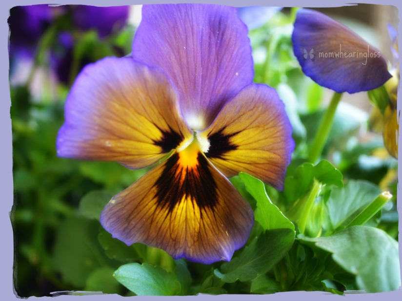 ARE YOU A PANSY – FRIDAY'S PHLOG FOR APRIL 25, 2014