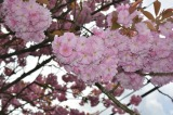UNDER THE CHERRY BLOSSOMS – FRIDAY'S PHLOG FOR JUNE 6, 2014