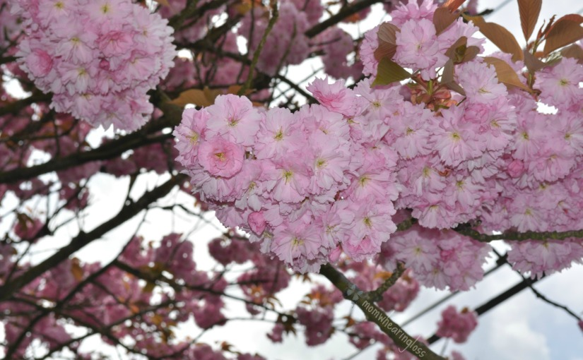 UNDER THE CHERRY BLOSSOMS – FRIDAY'S PHLOG FOR JUNE 6,2014
