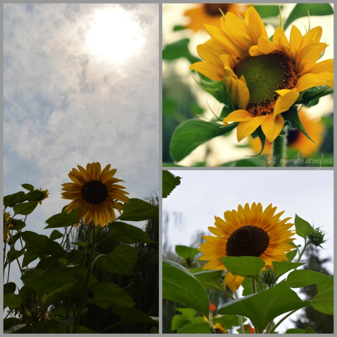 sunflower collage