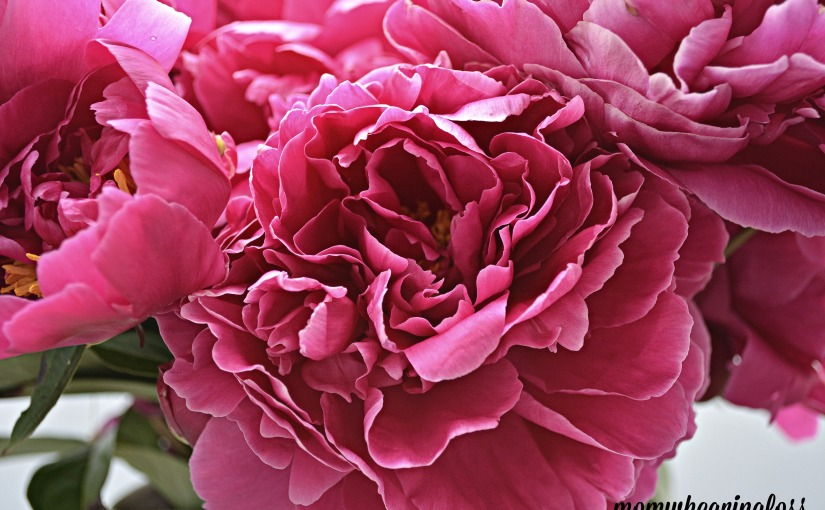 PEONY- FRIDAY'S PHLOG FOR MAY 27, 2016